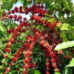 قهوه در ویتنام -اسوه صنعت اصفهان